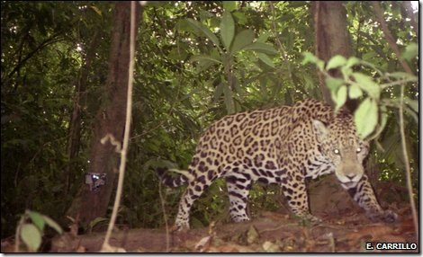camera trap picture jaguar costa rica