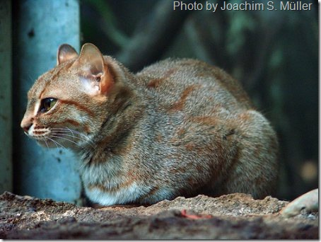 rusty-spotted-cat-1