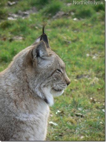 northern-lynx-1