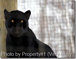 melanism black jaguar