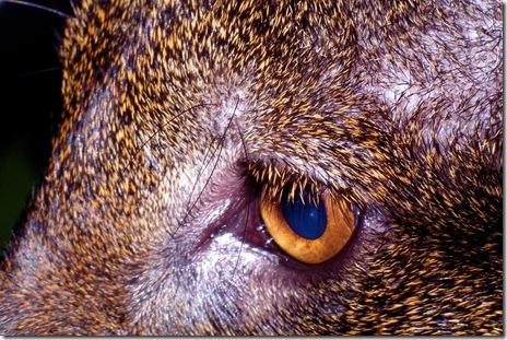 jaguarundi ticked coat