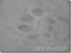 mountain lion tracks 7