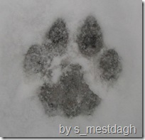 mountain lion tracks 8