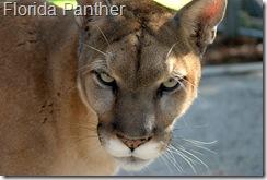 florida panther 1