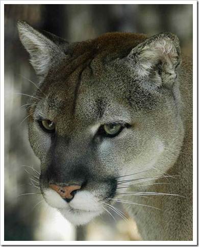 the best picture of a cougar