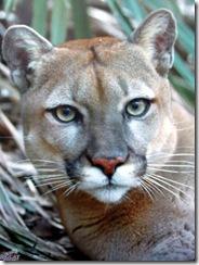 Hal rescued puma big cat rescue sponsorship program