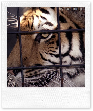 siberian tiger in cage
