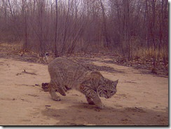 new mexico bobcat 1