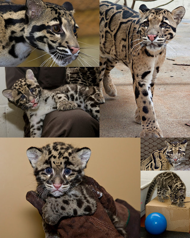 clouded leopard picasweb collage