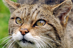 Scottish wild cat face