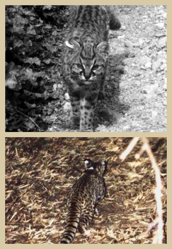 Kodkod wild cat collage