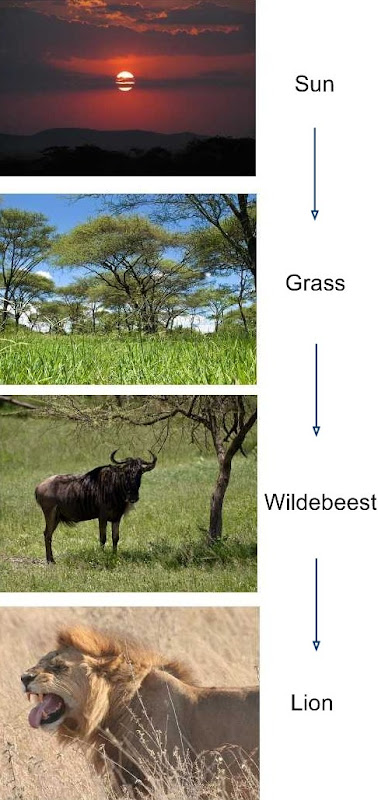 Lion Food Chain with Wildebeest