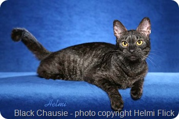 Chausie - Grizzled Female