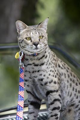 Motzie F2 Savannah cat on a jaguar car
