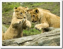 lion cubs at play at Knowsley Safari Park - photo by rofanator