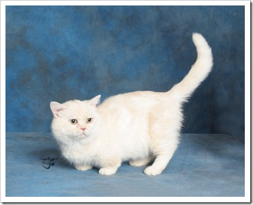 napoleon cat a nice white cat on blue background regular doll face