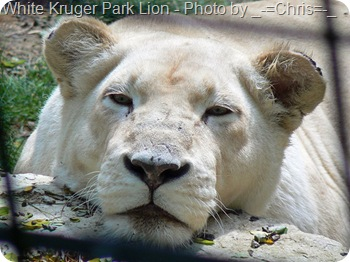 white Kruger park lion