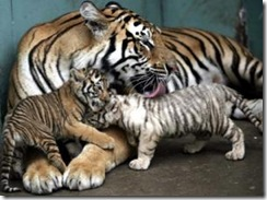tiger cubs for sale -1