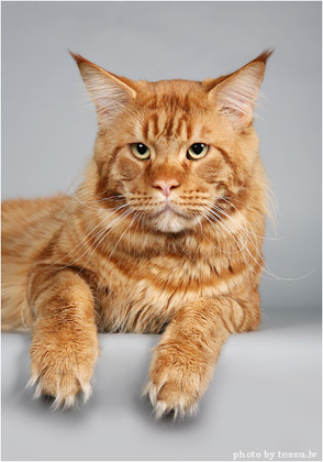 Maine Coon cat Agadir living in Lithuania