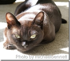 burmese cat on carpet