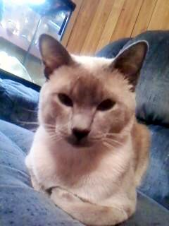 Traditional Siamese cat on a bed