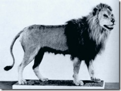 barbary lion 1