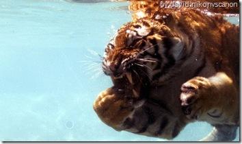 tiger wallpaper a tiger swimming under water