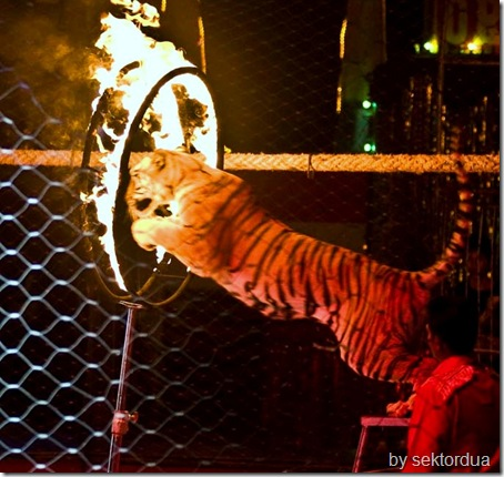 jakarta circus tigers