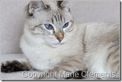 Color Point Lynx Applehead Siamese cat