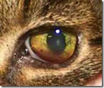 felv cats eye showing jaundice