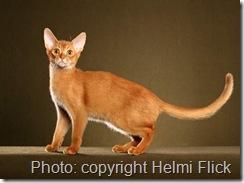 Sorrel coat colour abyssinian cat
