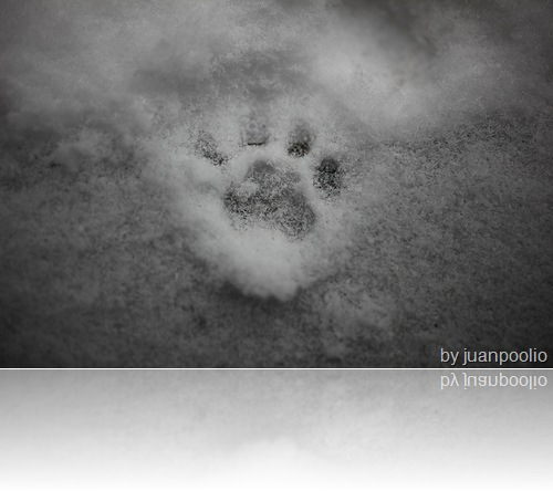 domestic-cat-paw-print-in-snow