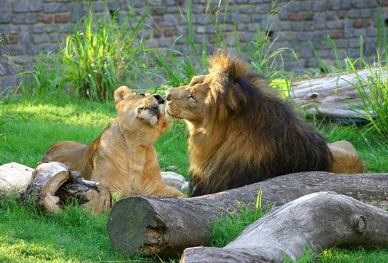 polygamous_lion