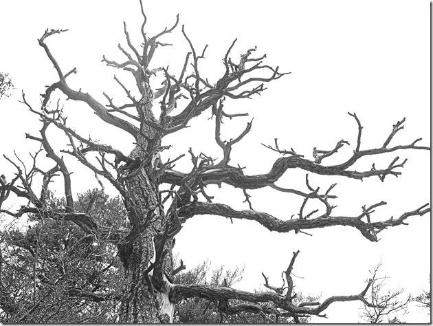 ansel adams pine tree - photo #15
