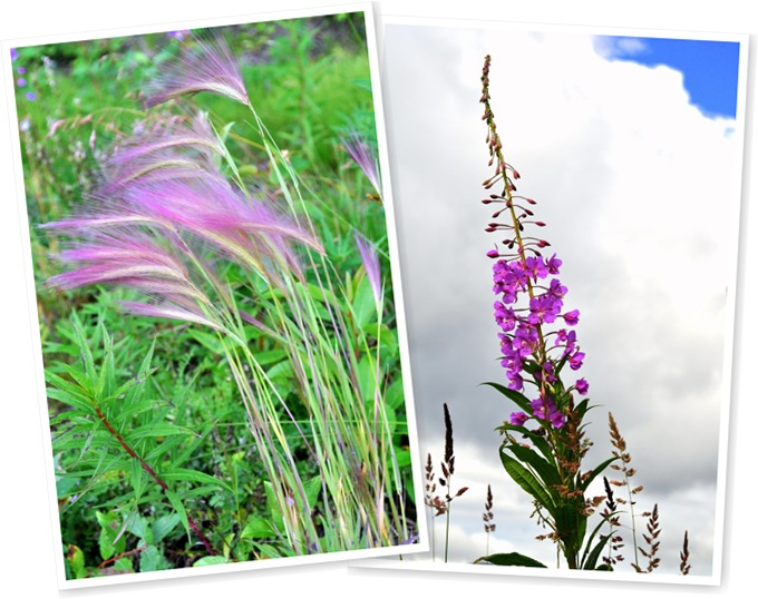View fireweed,horsetail