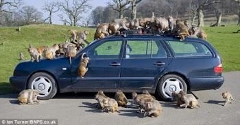 """奔驰车给猴子当玩具 被""""大卸八块"""""""