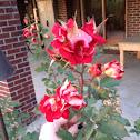 Flaky Rose