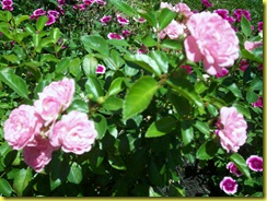 miniature rose shrubs