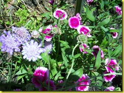 closeup button and dianthus