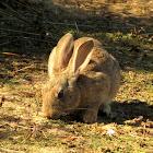 Rabbit/European Wild Rabbit