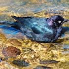 Brewers' Blackbird