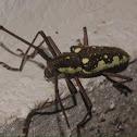 Flat-faced Longhorn Beetle, Neoptychodes cretatus
