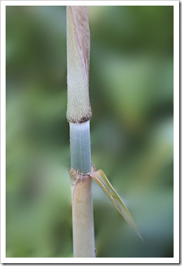 101019_barbellata_culm_closeup2