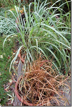 101208_bloodgrass lemongrass