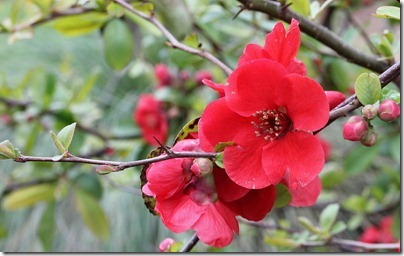 110219_Chaenomeles-speciosa-Blood-Red_05