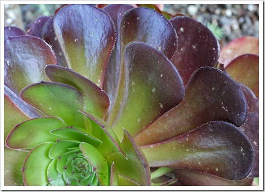 110519_hail_damage_aeonium_voodoo_02