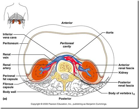 Anatomy Histology Of The Urinary Tract