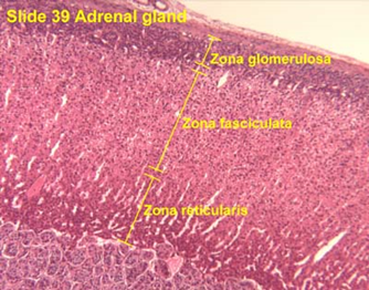 Story on adrenal gland zones