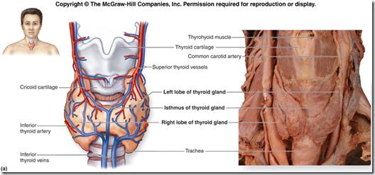 Anatomy Of The Thyroid Gland Medatrio