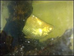 Kisah Ikan Bunting di Ofis Aku